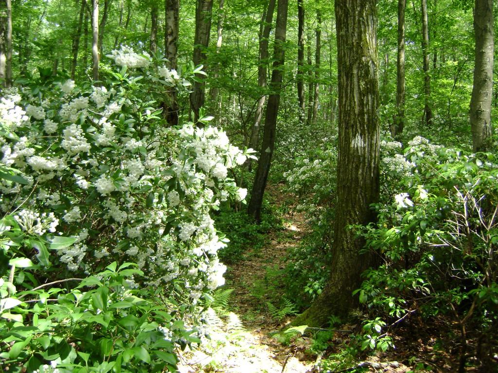 5-Moutain Laurel in bloom