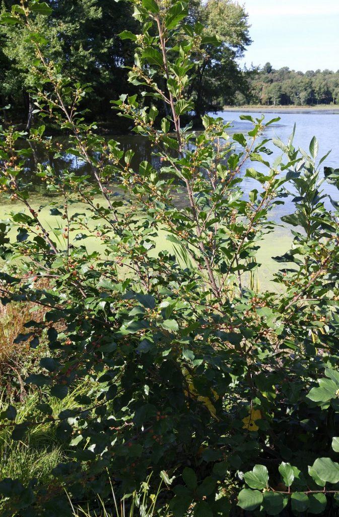 invasive-glossy-buckthorn