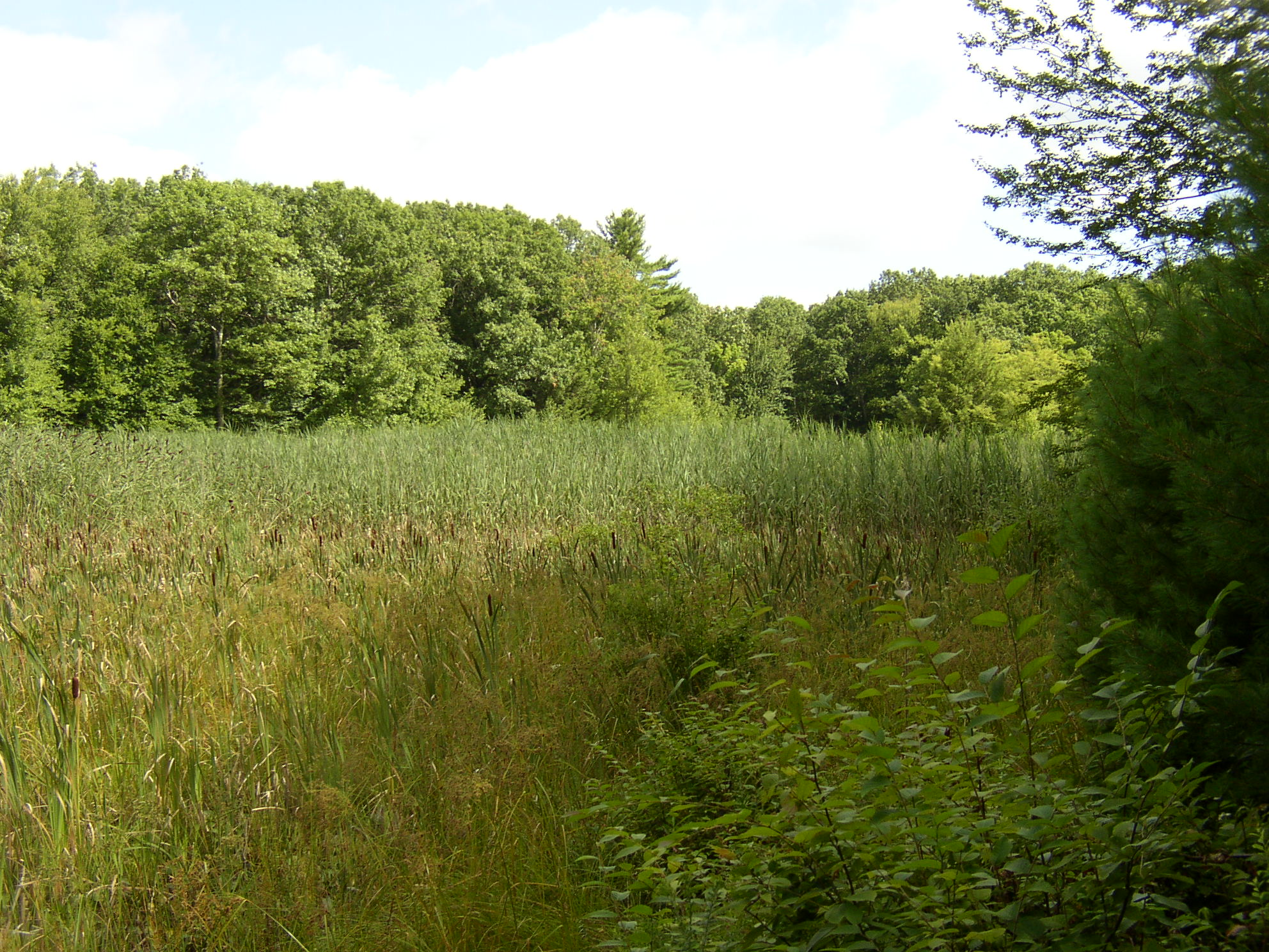 Last summer, the 2-acre marsh at Forever Forest continued to have a dense stand of reeds with no visible standing water amongst the vegetation.
